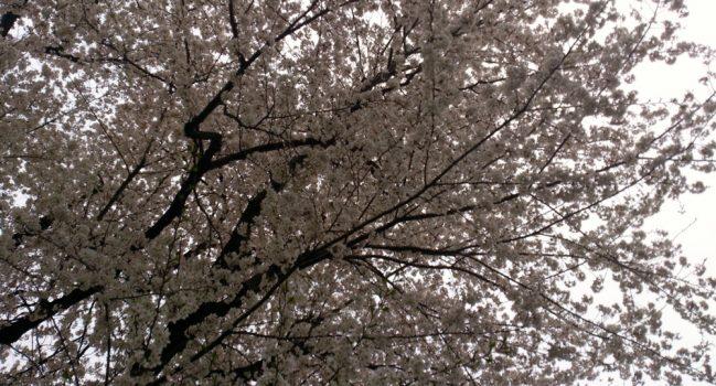 花曇り+花冷え