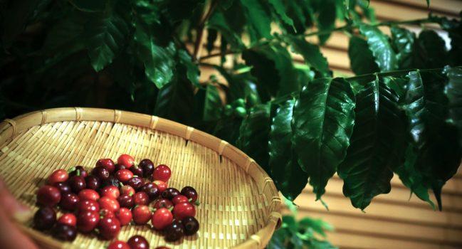 コーヒーチェリー収穫祭
